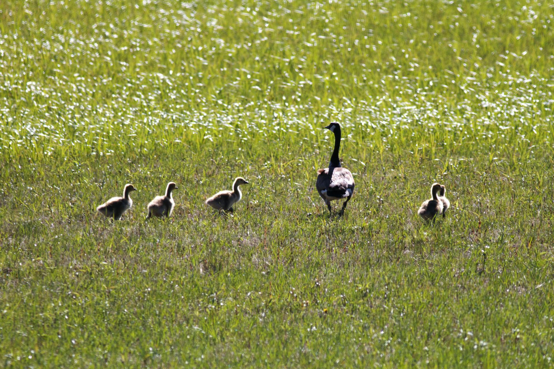 Canada Goose' 2015 july calendar