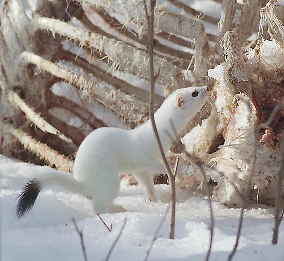 Winter White Ermine : Friends of Sax-Zim Bog