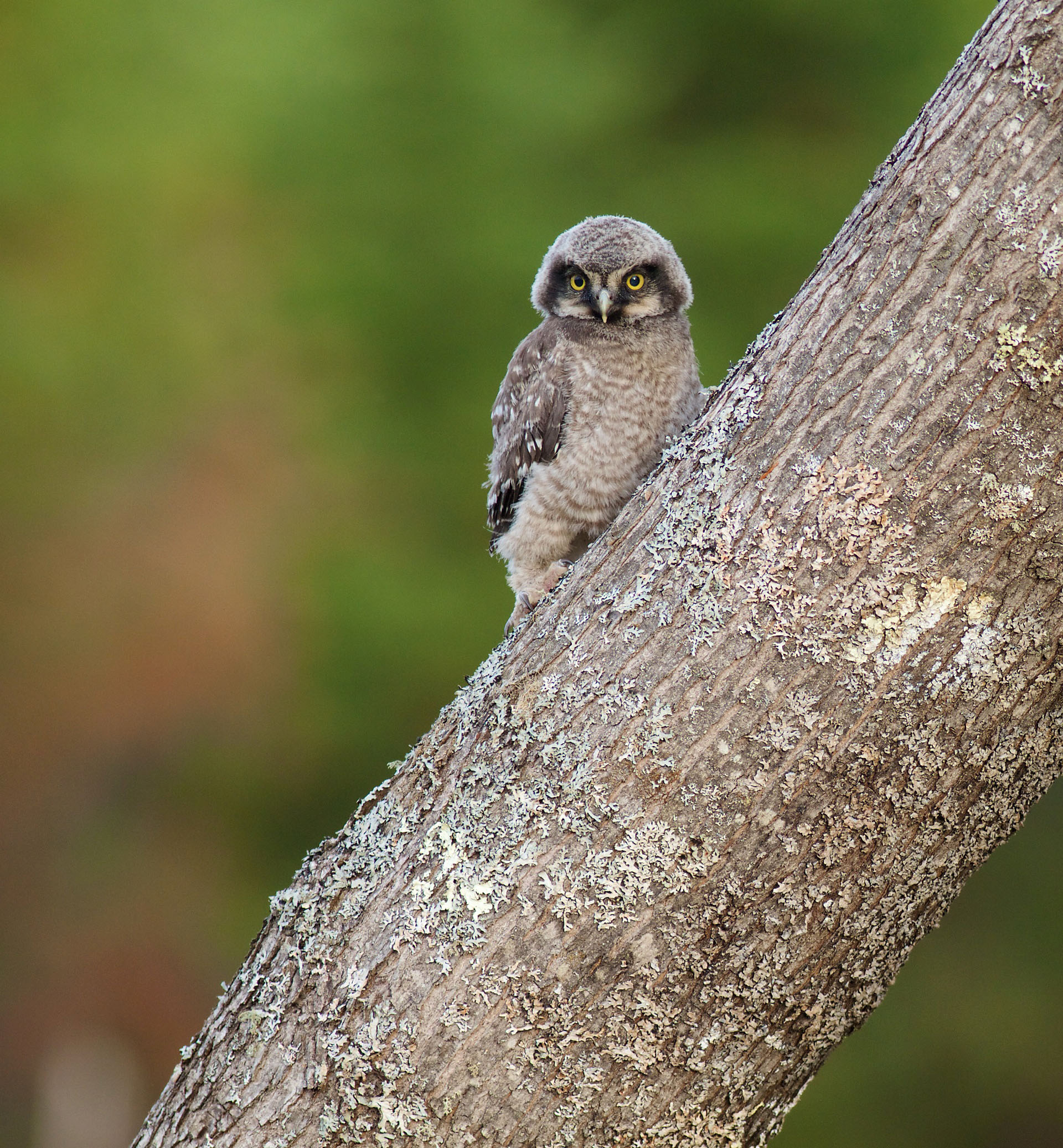 Northern hawk owl baby