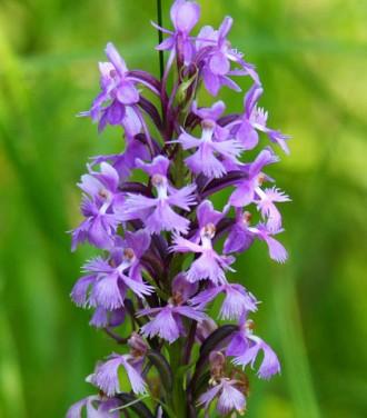 Purple+Fringed+Orchid+01+Rubin+Stensing