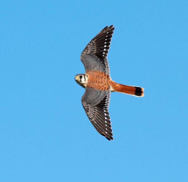 american-kestrel-male-hawk-ridge-duluth-mn-img_7609-2